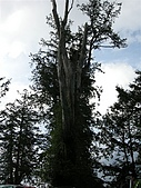 970405~06阿里山賞櫻之旅:高大的樹木