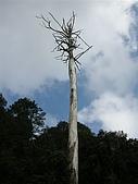 970405~06阿里山賞櫻之旅:高聳入雲的樹