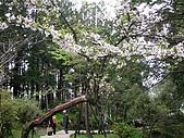 970405~06阿里山賞櫻之旅:吉野櫻