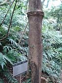 970809大板根森林遊樂區:台灣山桂花 樹幹上有竹節狀的東西