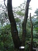 970809大板根森林遊樂區:左邊是相思樹 右邊是白匏仔