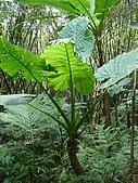 970809大板根森林遊樂區:山芋