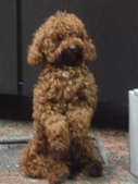 英文營聚餐:擺姿勢的貴賓狗