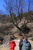 2013-01-20 雲南麗江-玉龍書院、東巴院落、千年古樹群、納西族神泉:IMG_9952.jpg