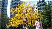 20140222_高雄河堤公園黃花風鈴木:20140222_04.jpg
