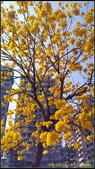 20140222_高雄河堤公園黃花風鈴木:20140222_08.jpg