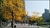 20140222_高雄河堤公園黃花風鈴木:20140222_07.jpg