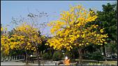 20140222_高雄河堤公園黃花風鈴木:20140222_03.jpg