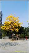 20140222_高雄河堤公園黃花風鈴木:20140222_09.jpg