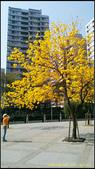 20140222_高雄河堤公園黃花風鈴木:20140222_02.jpg
