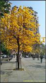 20140222_高雄河堤公園黃花風鈴木:20140222_06.jpg
