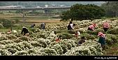 2008-11-16 銅鑼杭菊:DSC_1944.jpg