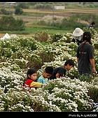 2008-11-16 銅鑼杭菊:DSC_1955.jpg