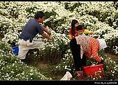 2008-11-16 銅鑼杭菊:DSC_1960.jpg