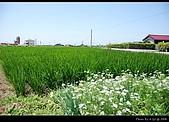 2008-5-11 夢幻桐花道:DSC_1240.jpg