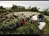 2008-11-16 銅鑼杭菊:DSC_1979.jpg