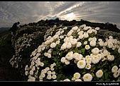 2008-11-16 銅鑼杭菊:DSC_1982.jpg