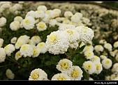 2008-11-16 銅鑼杭菊:DSC_1999.jpg