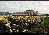 2008-11-16 銅鑼杭菊:DSC_1937.jpg