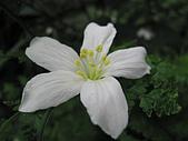 桐花祭:散落的桐花