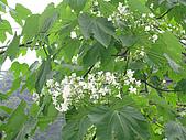 桐花祭:桐花盛開