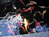 日本創作料理:鯉魚池