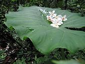 桐花祭:散落荷葉上的桐花