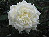 南橫花蓮之旅:玫瑰