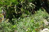 Machu-Picchu馬丘比丘:古柯茶植物