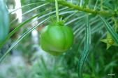 希臘一塞薩洛尼基、克里特島古跡風情:黃花夾竹桃