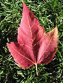 溫哥華&布查花園:楓葉