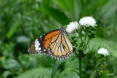 食養山房懷石料理:黑脈樺斑蝶