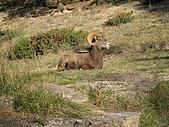 冰原&傑士伯國家公園:大角公羊