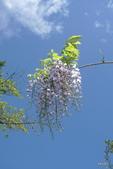 阿里山之旅:紫藤