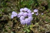 阿里山之旅:紫花藿香薊