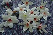 桐花祭:大艽芎古道桐花