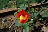 阿里山之旅:玫瑰花