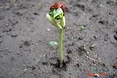 菜豆的成長:DSC02381_大小