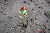 菜豆的成長:DSC02382_大小