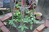 菜豆的成長:DSC02461_大小