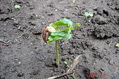 菜豆的成長:DSC02383-3_大小