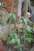 菜豆的成長:DSC02467-2_大小