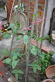 菜豆的成長:DSC02468-2_大小