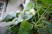 菜豆的成長:24_大小
