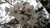 2017-03-19 雞鳴寺及南京林業大學櫻花:DSC_0054.JPG