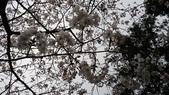 2017-03-19 雞鳴寺及南京林業大學櫻花:DSC_0049.JPG