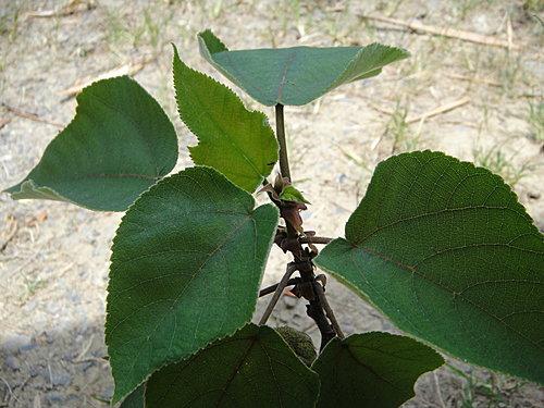 生態:構樹之心枝葉