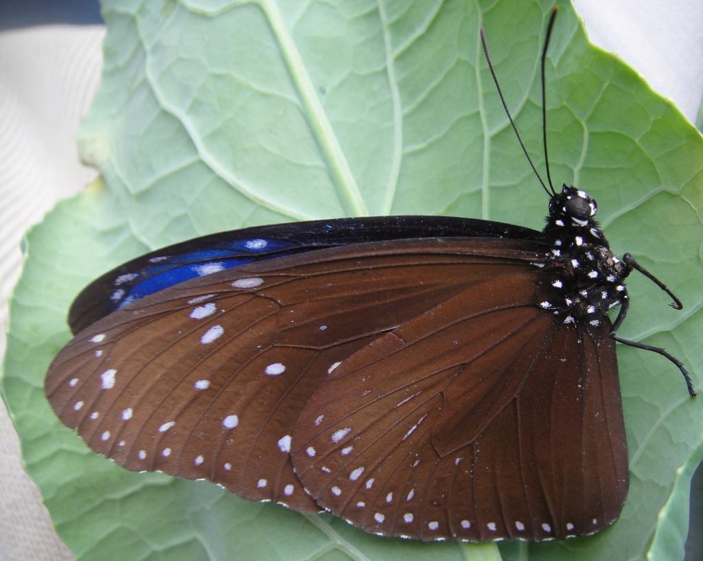 生態:端紫斑蝶(雄蝶)