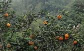 生態:紅嘴黑鵯啃食美人柑