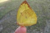 生態:水青粉蝶?